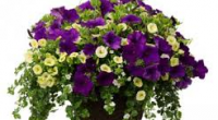 "Burnaby South PAC is once again hosting the Annual Hanging Basket Fundraiser. Baskets are $28 (tax included) for 12 inch, all plants are ""proven winner"" brand from Windsor Greenhouse in Abbotsford.  You […]"
